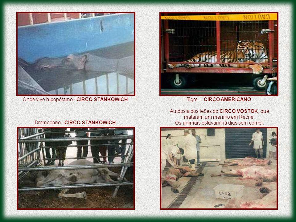 Autópsia dos leões do CIRCO VOSTOK, que mataram um menino em Recife. Os animais estavam há dias sem comer. Dromedário - CIRCO STANKOWICH Onde vive hip