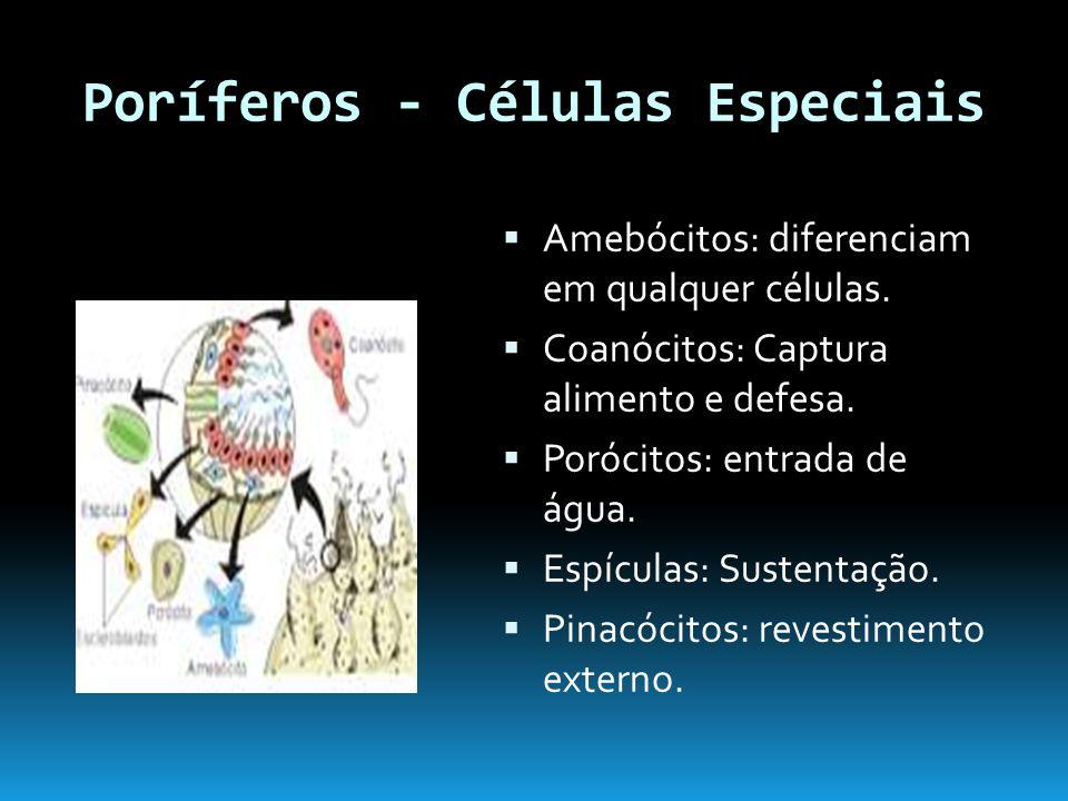 Poríferos - Células Especiais Amebócitos: diferenciam em qualquer células.
