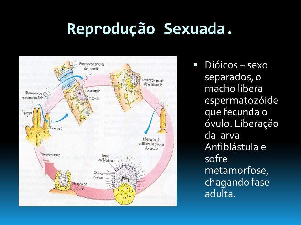 Reprodução Sexuada.Dióicos – sexo separados, 0 macho libera espermatozóide que fecunda o óvulo.