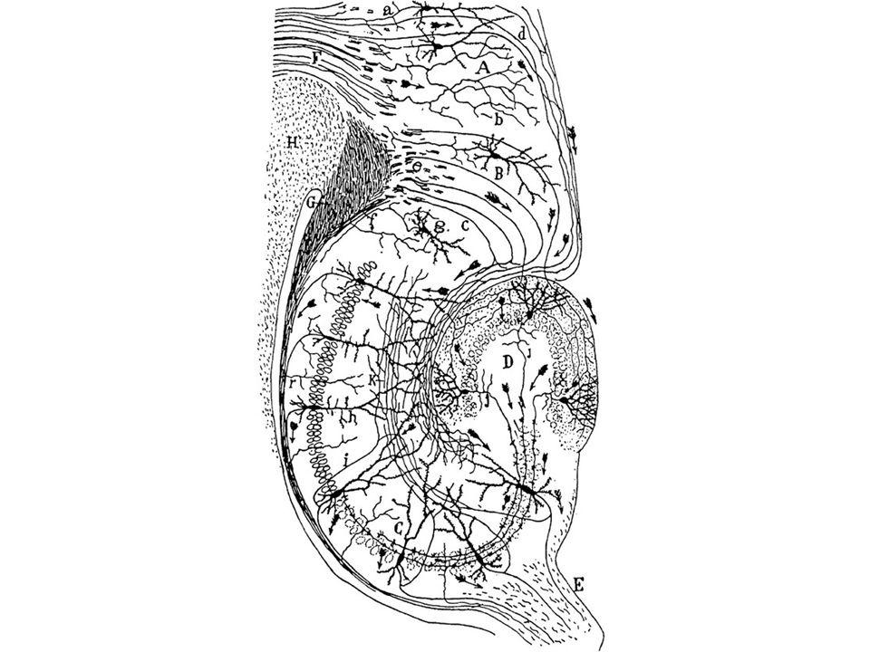 Polarização (tanto morfológica quanto funcional)?