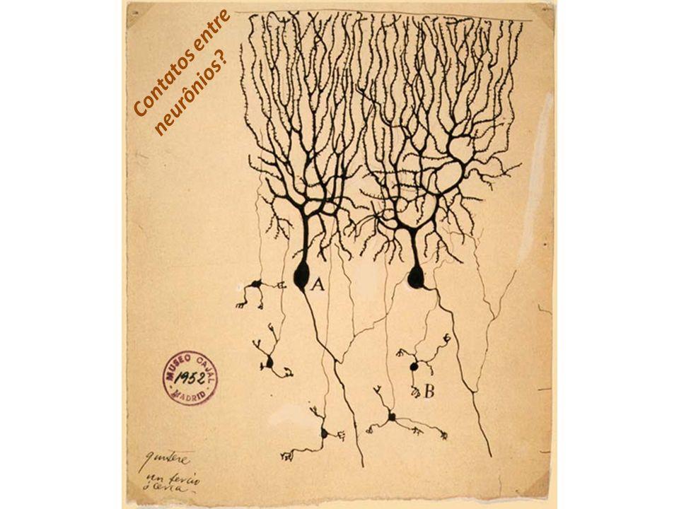 Contatos entre neurônios?
