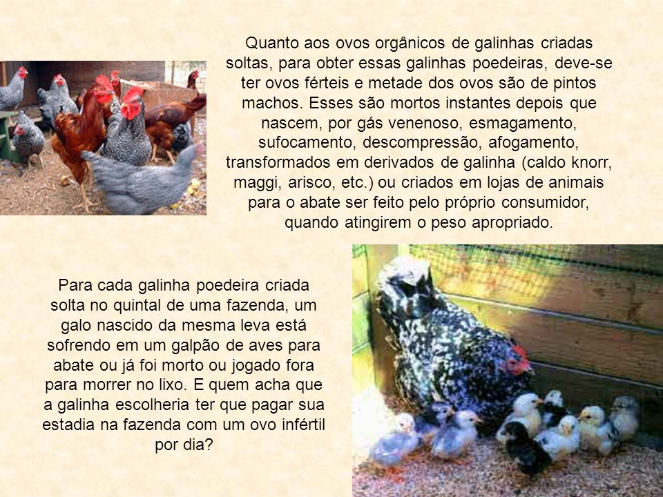 Quanto aos ovos orgânicos de galinhas criadas soltas, para obter essas galinhas poedeiras, deve-se ter ovos férteis e metade dos ovos são de pintos machos.