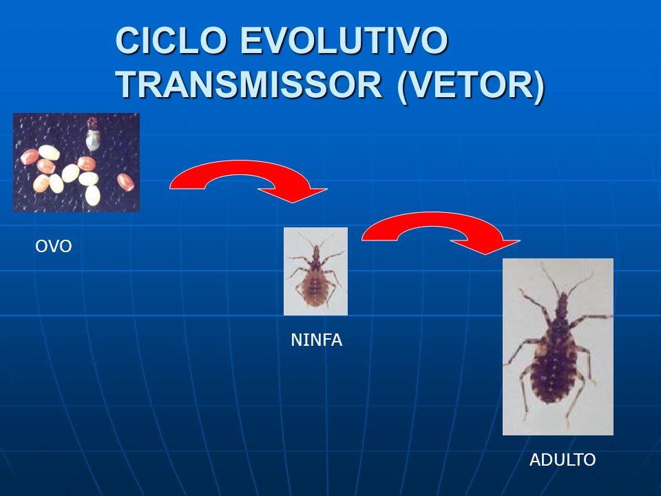 CICLO EVOLUTIVO TRANSMISSOR (VETOR) OVO ADULTO NINFA