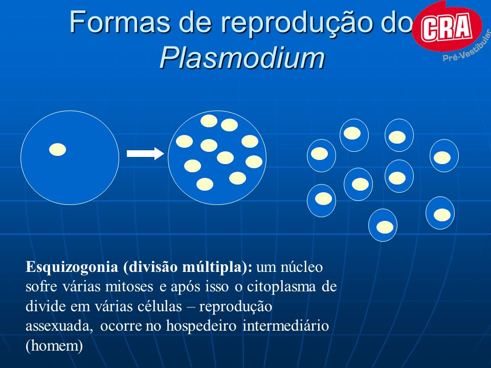 Formas de reprodução do Plasmodium Esquizogonia (divisão múltipla): um núcleo sofre várias mitoses e após isso o citoplasma de divide em várias célula
