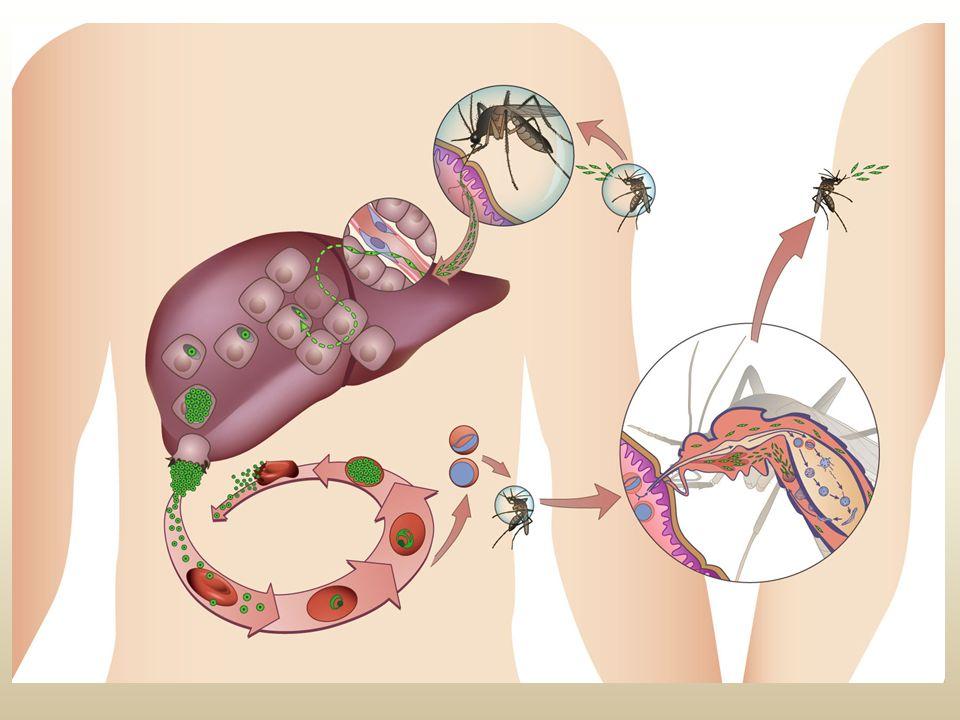Malária (maleita) comum na região amazônica plasmódio inseto transmissor: fêmea do mosquito Anopheles prevenção: usar inseticidas, telas em portas e j