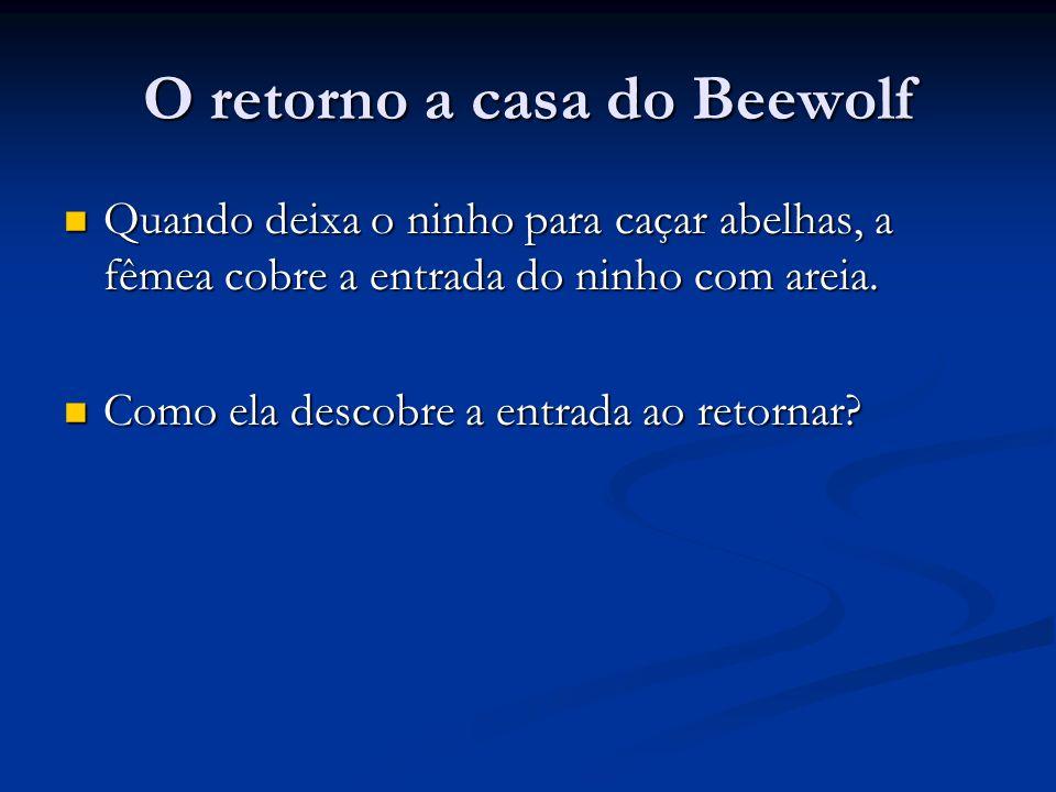 O retorno a casa do Beewolf Beewolves vôa em torno do ninho antes de sair.