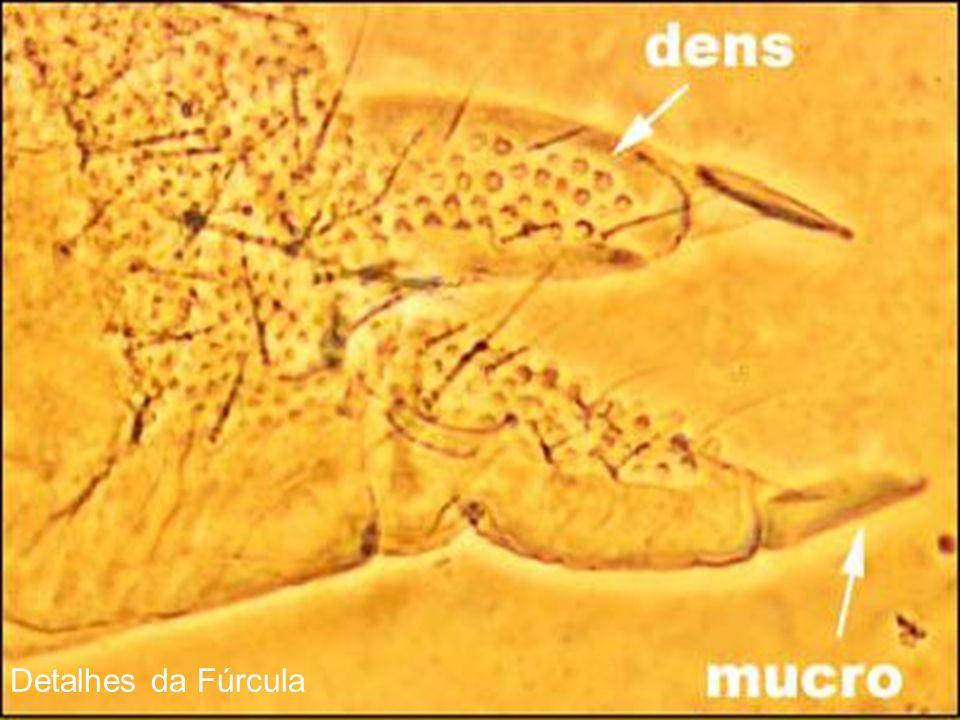 Detalhes da Fúrcula