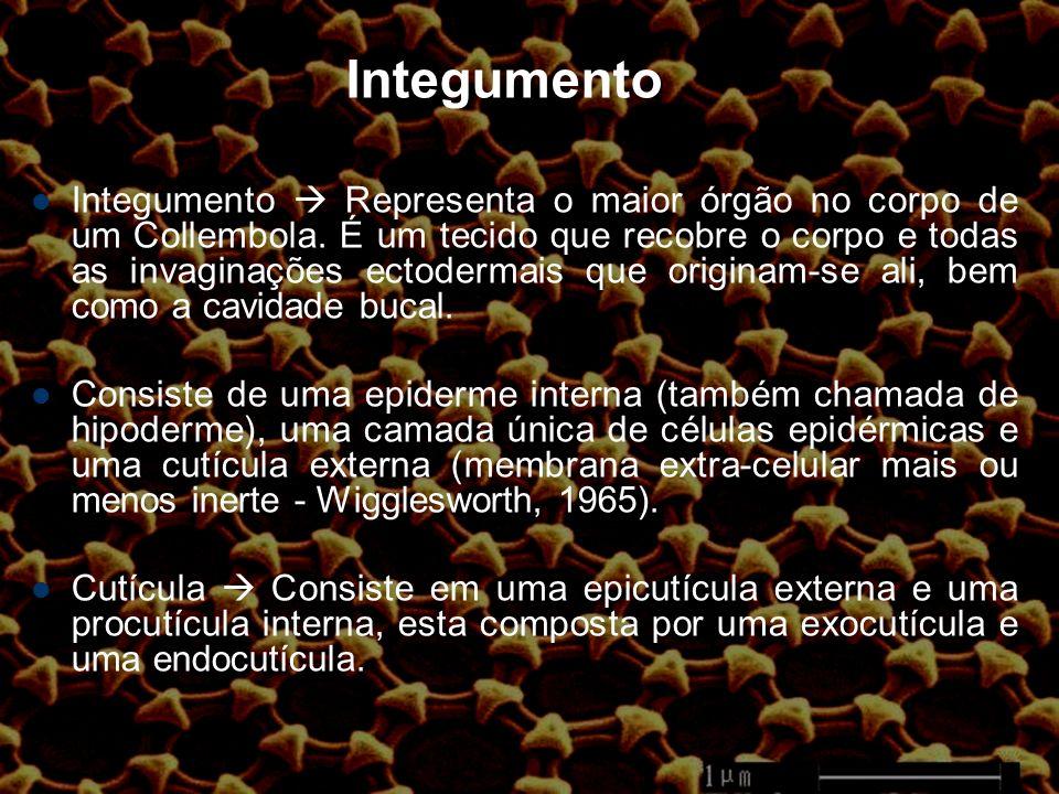 Integumento Integumento Representa o maior órgão no corpo de um Collembola.