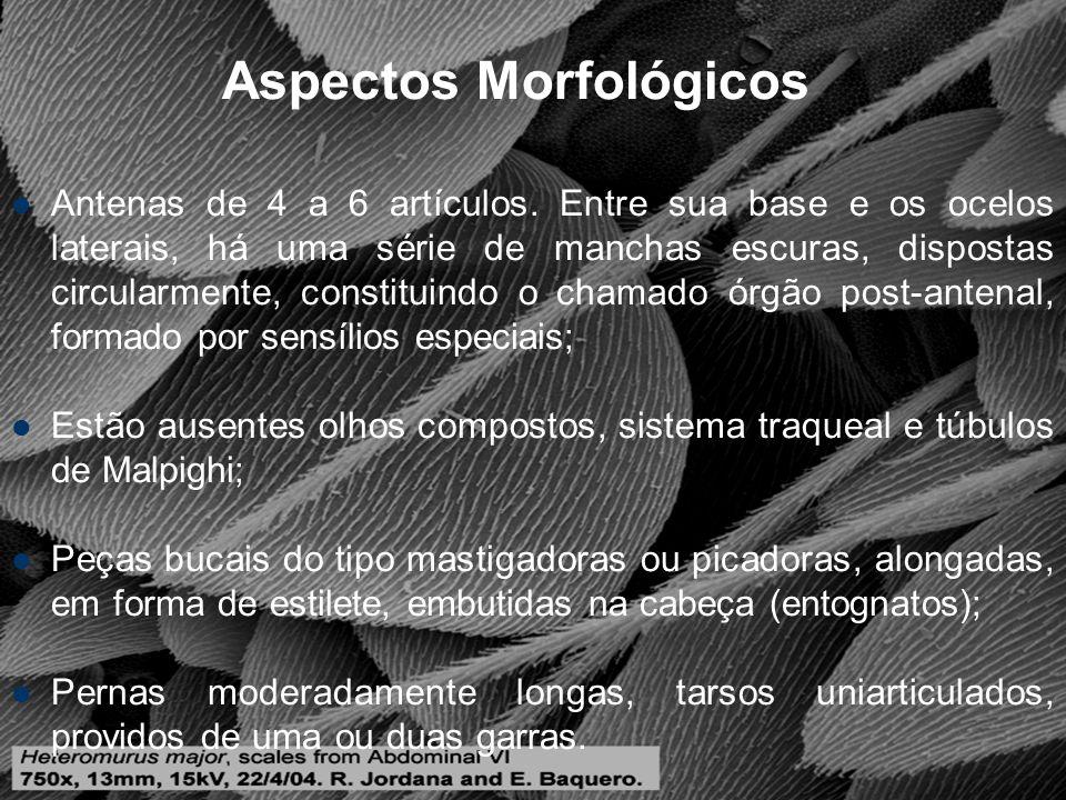 Aspectos Morfológicos Abdome, em geral, com 6 segmentos, estando presentes: Colóforo (prende o inseto ao substrato ou serve para ventilação); Retináculo ou Tenáculo (segura a fúrcula, quando voltada para frente); Fúrcula, dividida em: manúbrio, dentes e mucro.