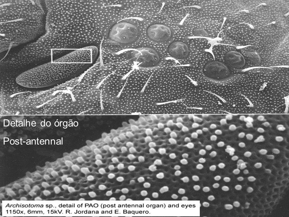 Sminthurides sp.: Detalhe da cabeça com ocelos.