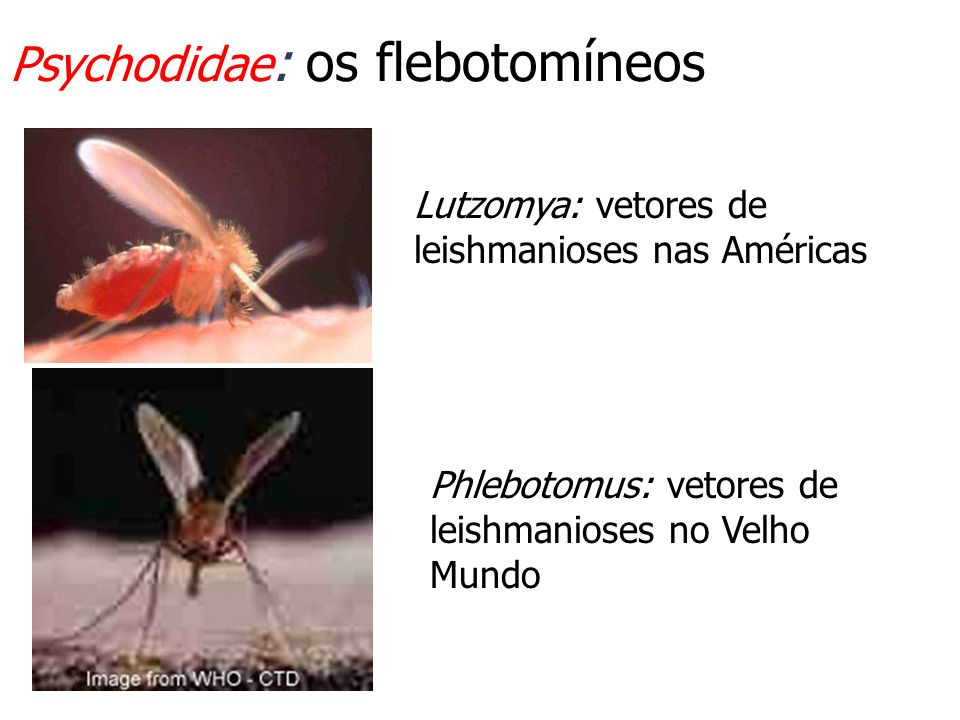 Psychodidae : os flebotomíneos Lutzomya: vetores de leishmanioses nas Américas Phlebotomus: vetores de leishmanioses no Velho Mundo