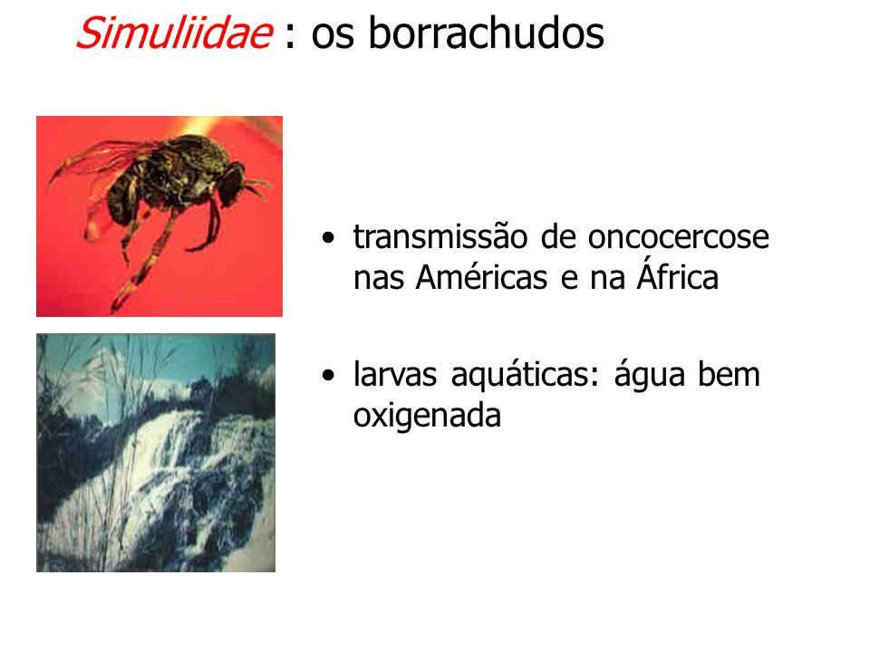 Simuliidae : os borrachudos transmissão de oncocercose nas Américas e na África larvas aquáticas: água bem oxigenada