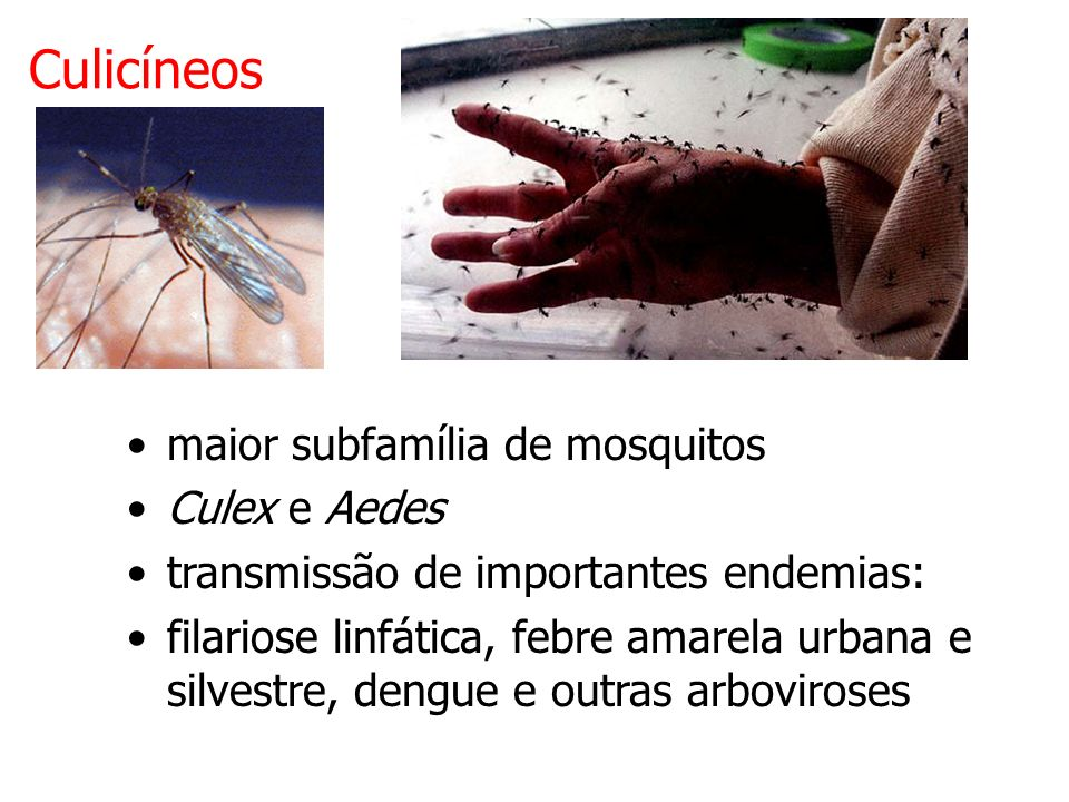 Culicíneos maior subfamília de mosquitos Culex e Aedes transmissão de importantes endemias: filariose linfática, febre amarela urbana e silvestre, dengue e outras arboviroses