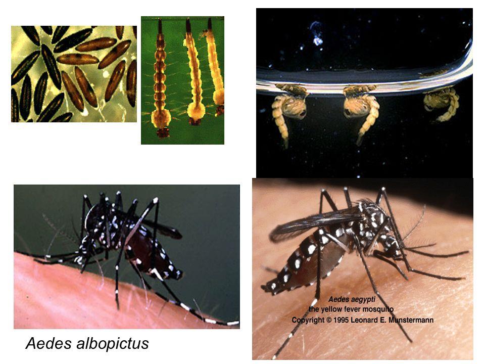Aedes albopictus