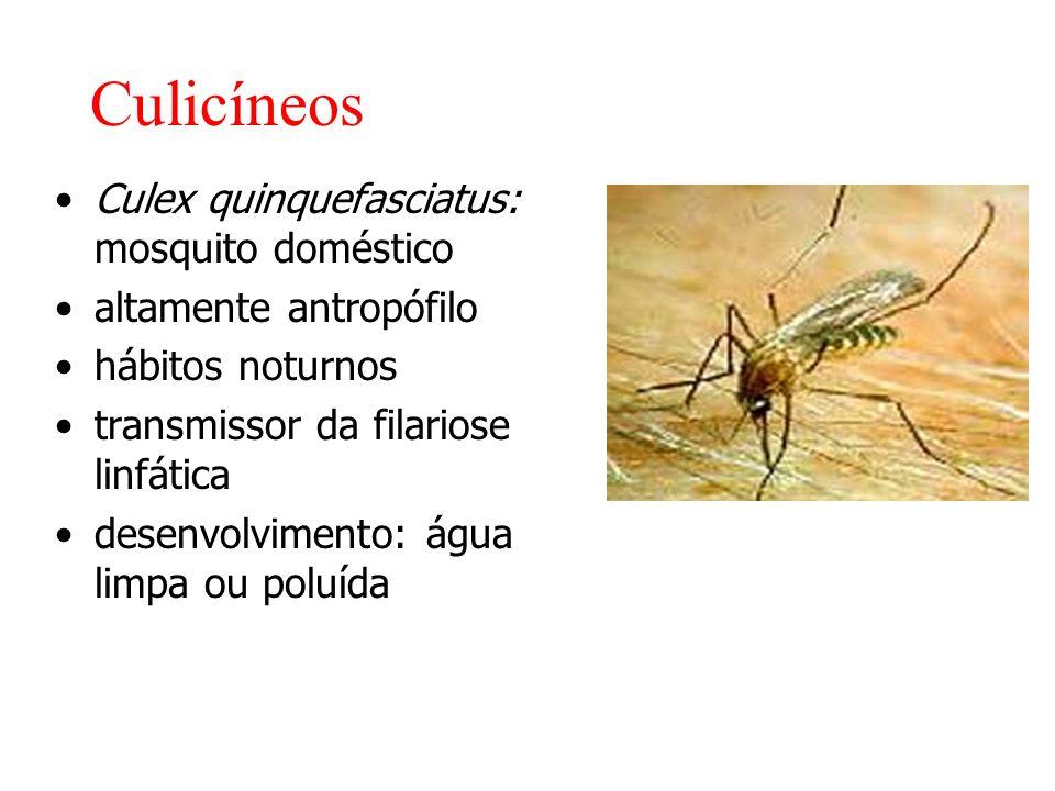 Culicíneos Culex quinquefasciatus: mosquito doméstico altamente antropófilo hábitos noturnos transmissor da filariose linfática desenvolvimento: água limpa ou poluída