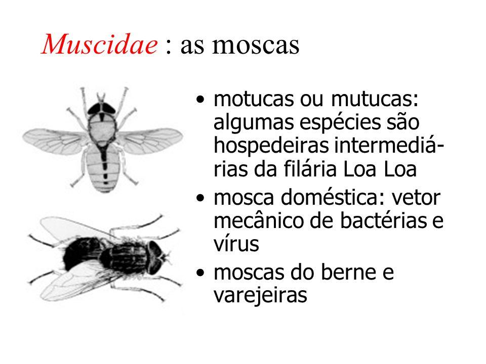 Muscidae : as moscas motucas ou mutucas: algumas espécies são hospedeiras intermediá- rias da filária Loa Loa mosca doméstica: vetor mecânico de bactérias e vírus moscas do berne e varejeiras