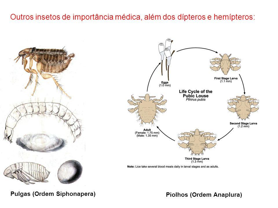 Outros insetos de importância médica, além dos dípteros e hemípteros: Piolhos (Ordem Anaplura) Pulgas (Ordem Siphonapera)
