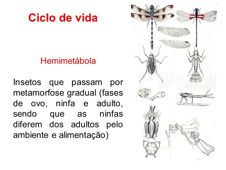 Ciclo de vida Hemimetábola Insetos que passam por metamorfose gradual (fases de ovo, ninfa e adulto, sendo que as ninfas diferem dos adultos pelo ambiente e alimentação)
