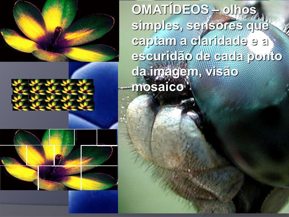 OMATÍDEOS – olhos simples, sensores que captam a claridade e a escuridão de cada ponto da imagem, visão mosaico
