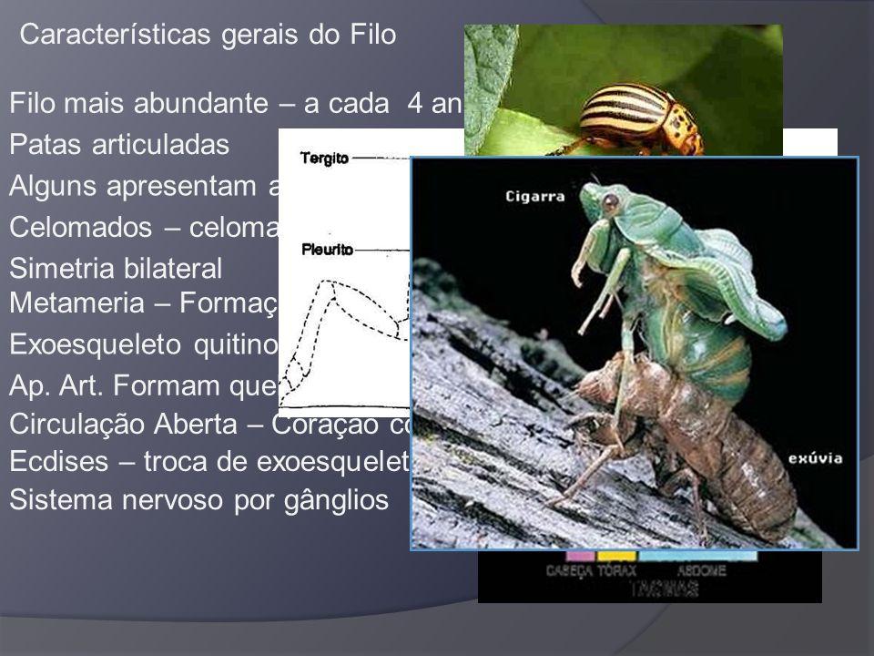 Características gerais do Filo Filo mais abundante – a cada 4 animais 3 são arthrópodes Patas articuladas Alguns apresentam antenas Celomados – celoma