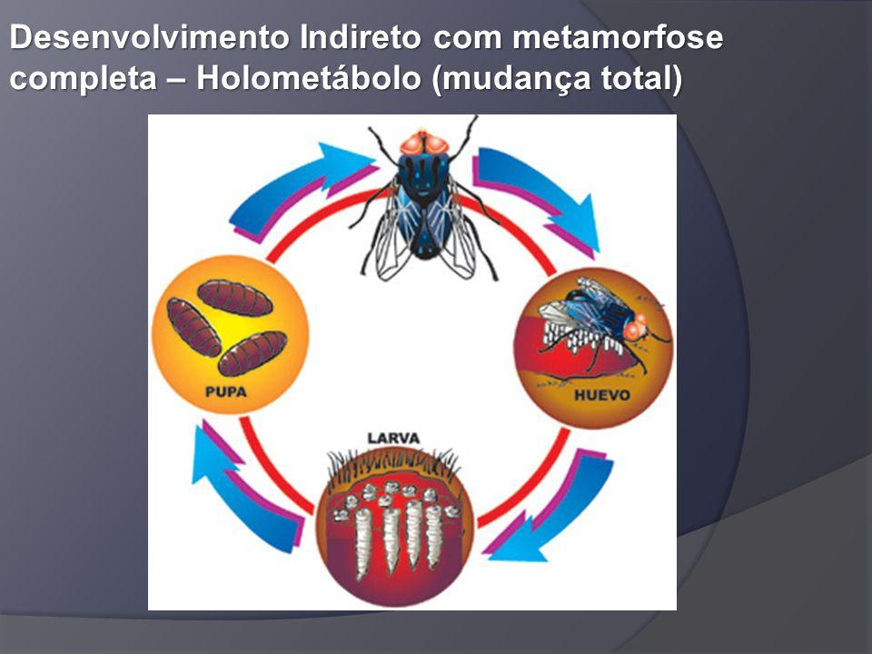 Desenvolvimento Indireto com metamorfose completa – Holometábolo (mudança total)