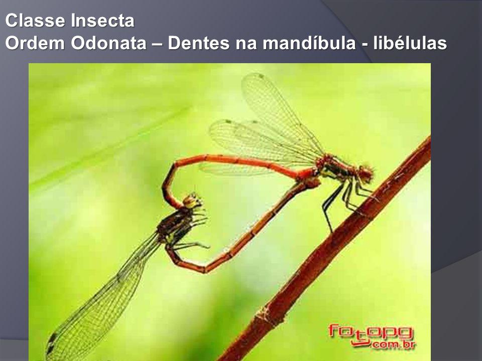 Classe Insecta Ordem Odonata – Dentes na mandíbula - libélulas