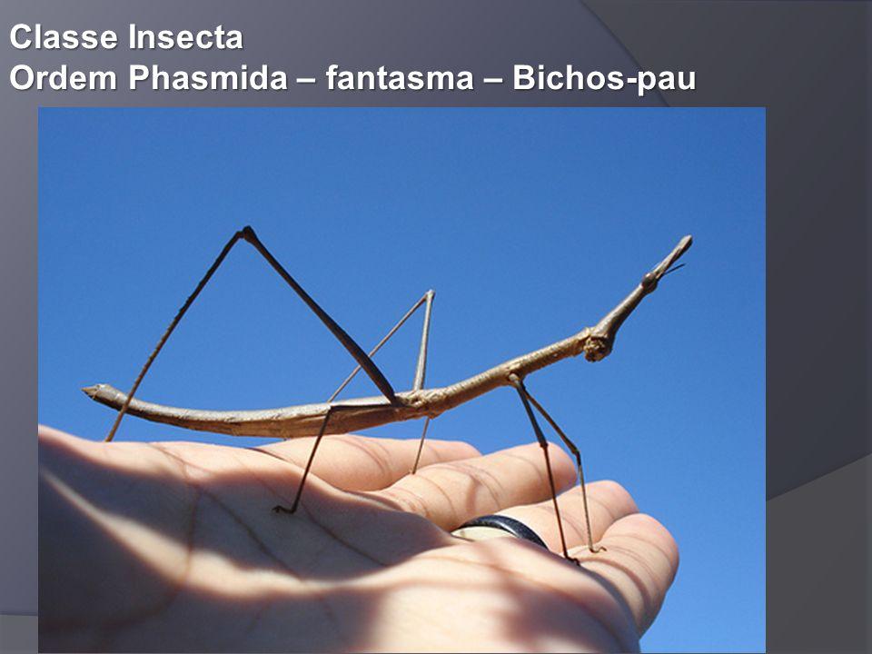 Classe Insecta Ordem Phasmida – fantasma – Bichos-pau