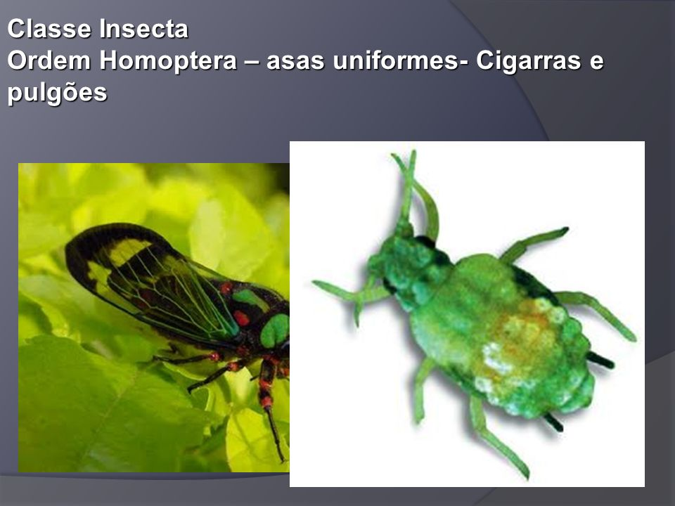 Classe Insecta Ordem Homoptera – asas uniformes- Cigarras e pulgões