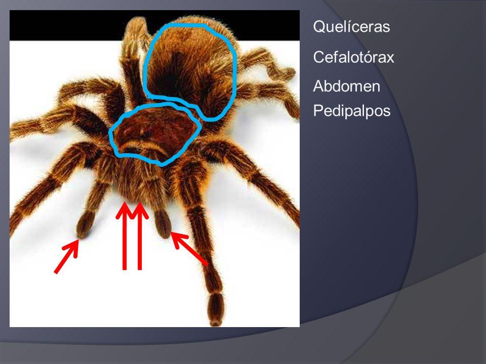 Quelíceras Pedipalpos Cefalotórax Abdomen