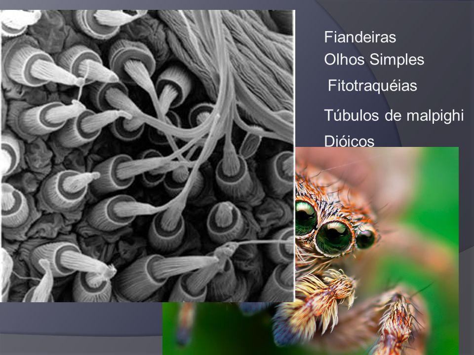 Classe Insecta Ordem Coleoptera – asas no estojo – besouros e joaninhas