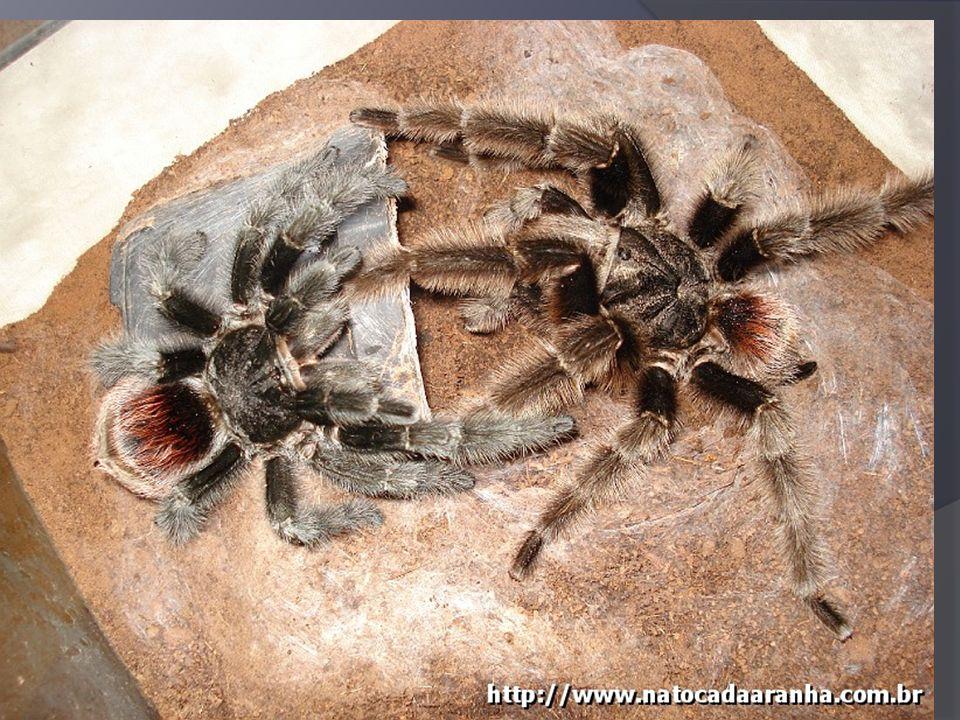 Classe Insecta Ordem Thysanura – Franjas na cauda - Traça