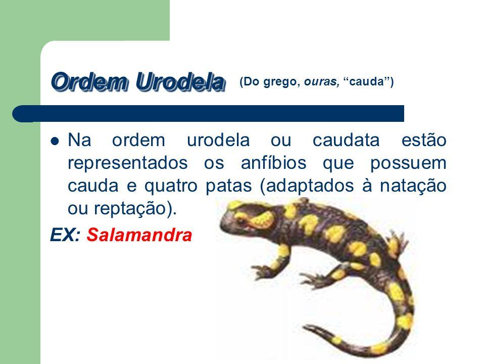 Ordem Urodela Na ordem urodela ou caudata estão representados os anfíbios que possuem cauda e quatro patas (adaptados à natação ou reptação). EX: Sala