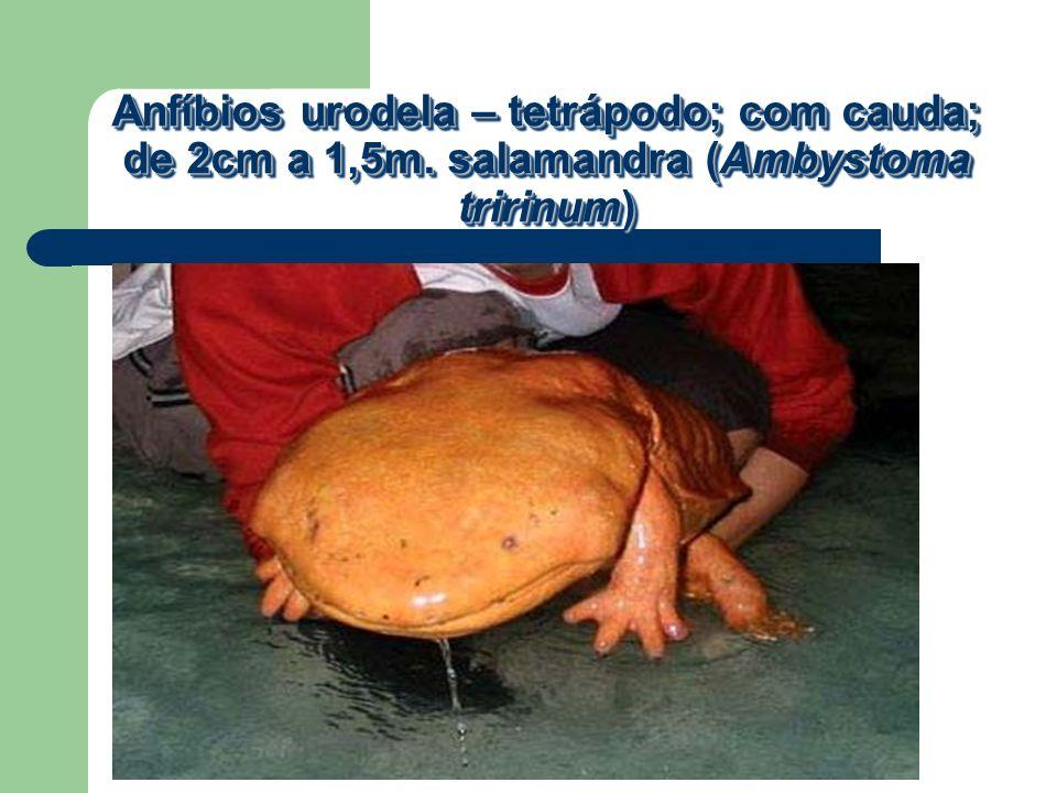 Anfíbios urodela – tetrápodo; com cauda; de 2cm a 1,5m. salamandra (Ambystoma tririnum)