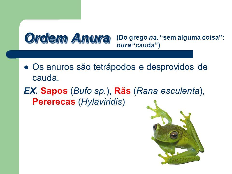Ordem Anura Os anuros são tetrápodos e desprovidos de cauda. EX. Sapos (Bufo sp.), Rãs (Rana esculenta), Pererecas (Hylaviridis) (Do grego na, sem alg