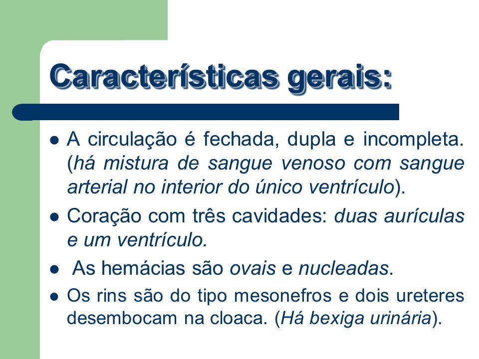Características gerais: A circulação é fechada, dupla e incompleta. (há mistura de sangue venoso com sangue arterial no interior do único ventrículo).