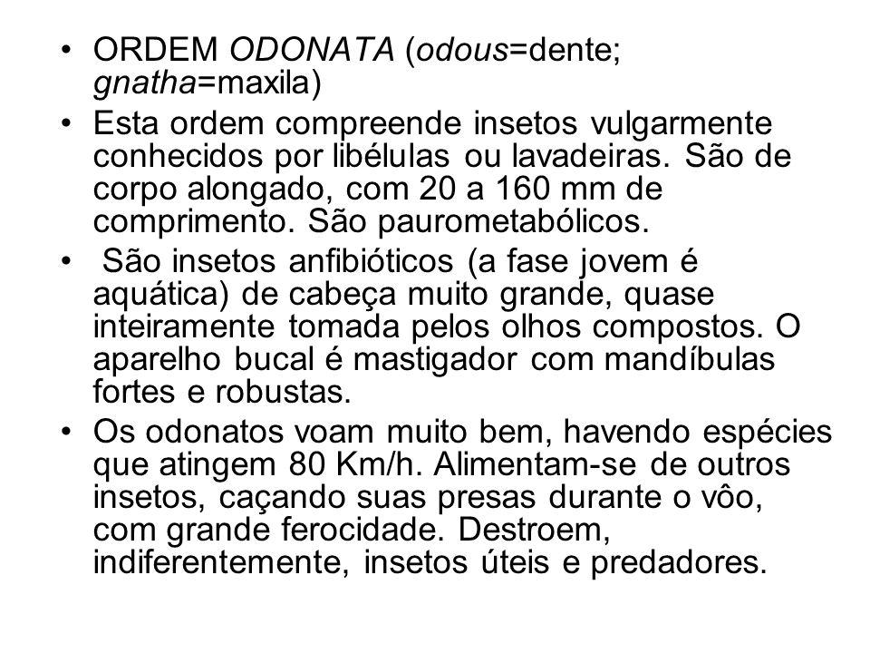 ORDEM ODONATA (odous=dente; gnatha=maxila) Esta ordem compreende insetos vulgarmente conhecidos por libélulas ou lavadeiras. São de corpo alongado, co