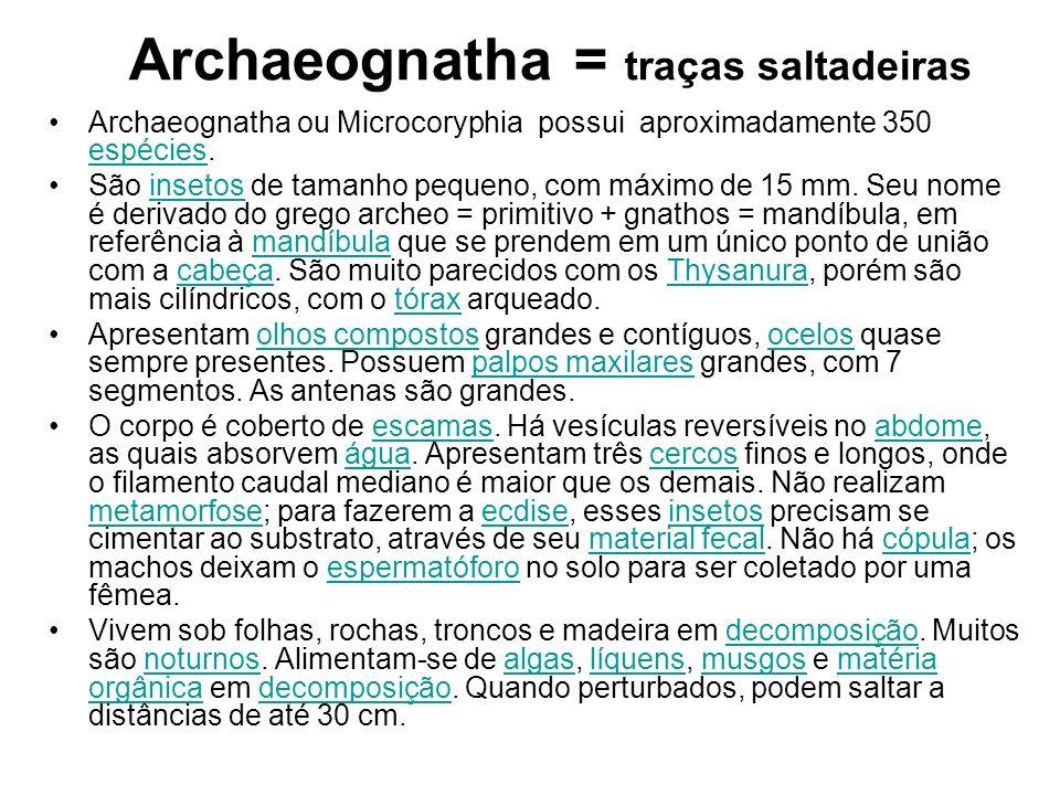 Archaeognatha = traças saltadeiras Archaeognatha ou Microcoryphia possui aproximadamente 350 espécies. espécies São insetos de tamanho pequeno, com má
