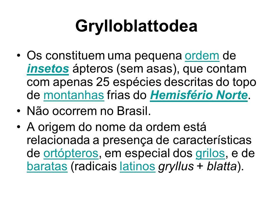 Grylloblattodea Os constituem uma pequena ordem de insetos ápteros (sem asas), que contam com apenas 25 espécies descritas do topo de montanhas frias