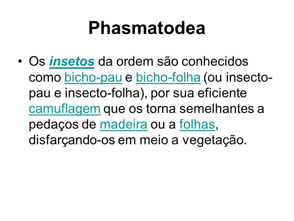 Phasmatodea Os insetos da ordem são conhecidos como bicho-pau e bicho-folha (ou insecto- pau e insecto-folha), por sua eficiente camuflagem que os tor