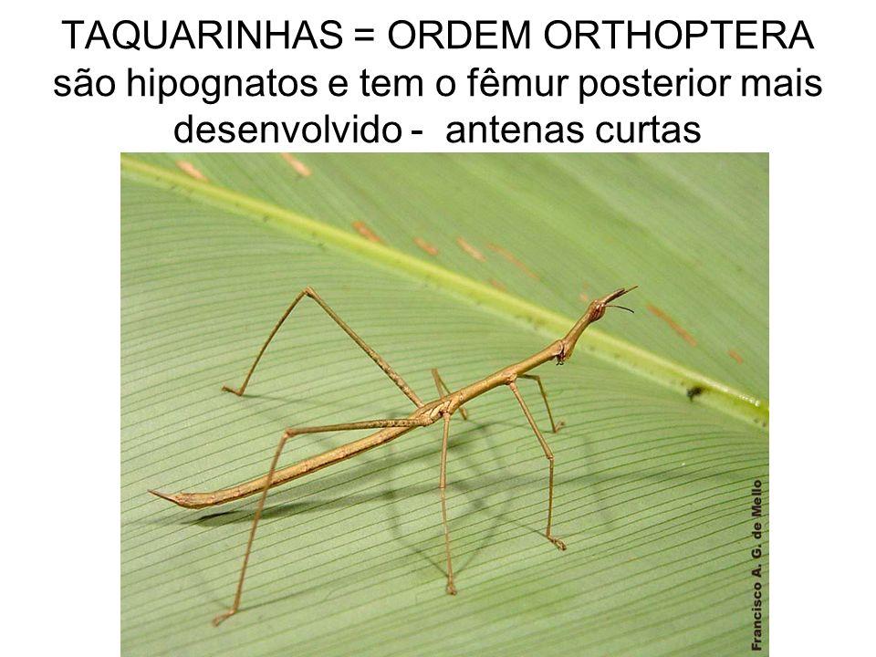 TAQUARINHAS = ORDEM ORTHOPTERA são hipognatos e tem o fêmur posterior mais desenvolvido - antenas curtas