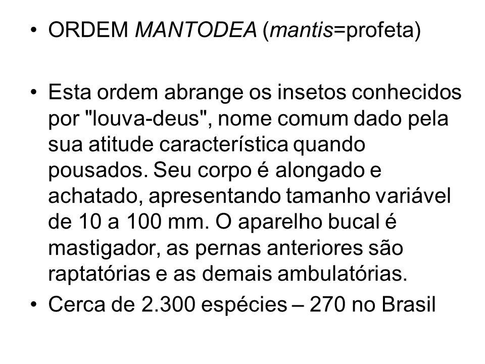 ORDEM MANTODEA (mantis=profeta) Esta ordem abrange os insetos conhecidos por