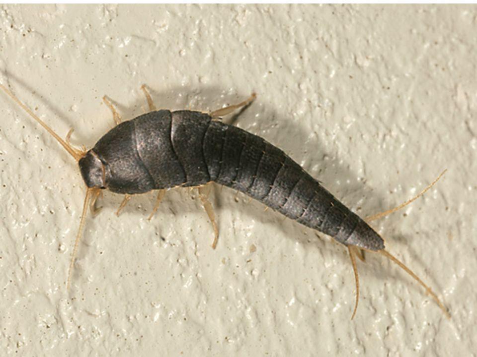 Variam em tamanho de 4 a 80 mm, possuem corpo estreito, alongado, de cor uniforme preta ou marrom- escuro, em algumas espécies com detalhes amarelados ou marrom-claro.