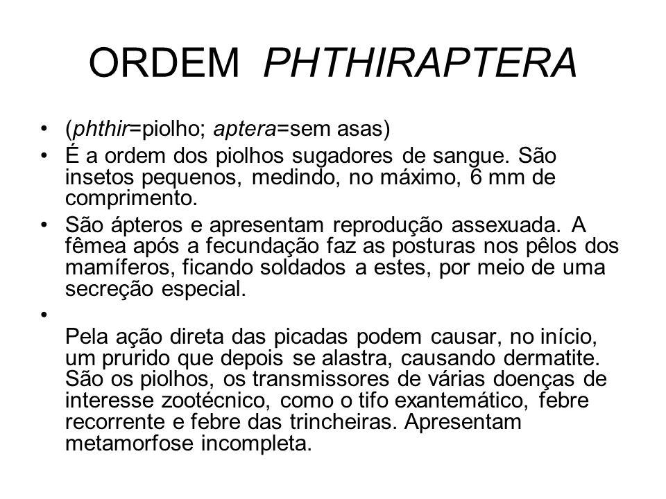 ORDEM PHTHIRAPTERA (phthir=piolho; aptera=sem asas) É a ordem dos piolhos sugadores de sangue. São insetos pequenos, medindo, no máximo, 6 mm de compr