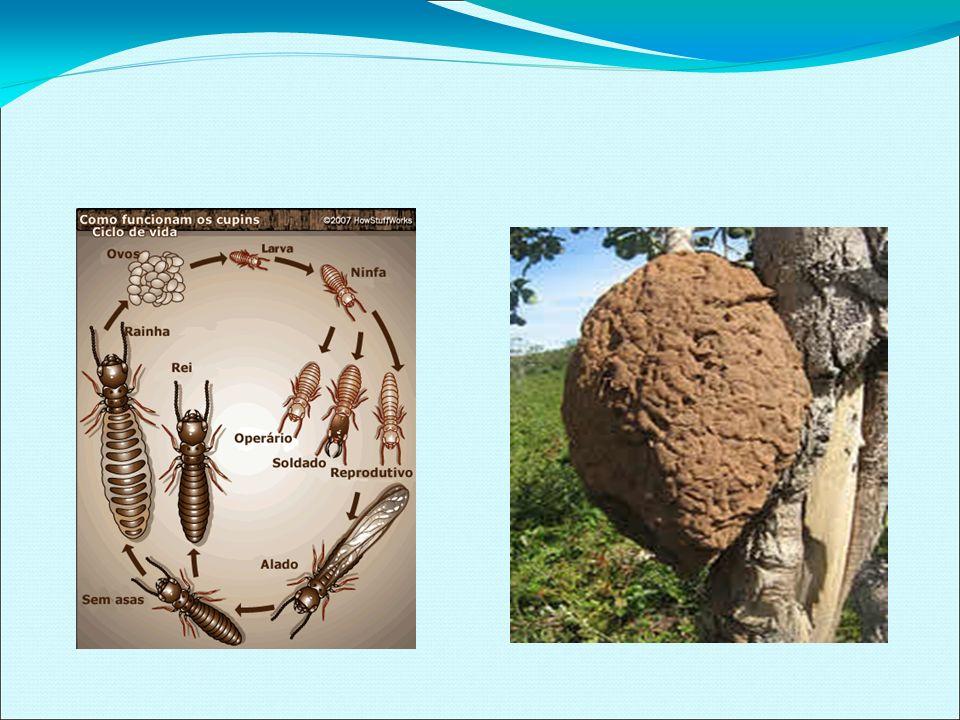 PRINCIPAIS GRUPOS DE INSETOS FITÓFAGOS MASTIGADORES Ordem Orthoptera (Grilos, Gafanhotos, Esperanças, etc.) Hábitos Fitófagos (alguns são predadores), Vivem no solo, solitariamente ou agrupados, Produzem sons, ovíparos, postura no solo, sobre folhas ou galhos secos Importância: devoram as folhas e os tecidos jovens das plantas
