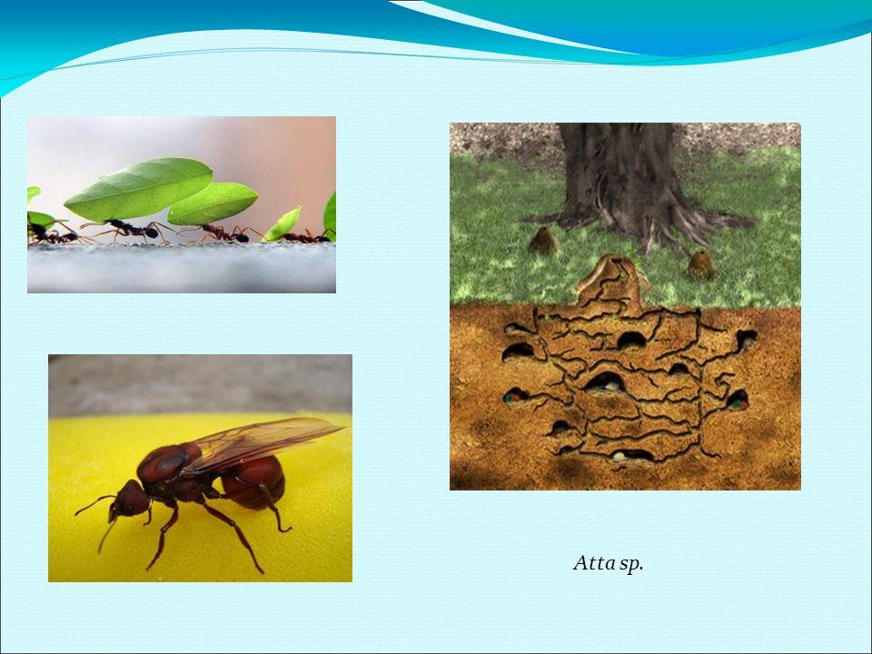 Ordem Diptera (Moscas, Mosquitos, Pernilongos) Hábitos Podem ser ectoparasitas de aves ou parasitas de outros insetos, mas a maioria alimenta-se de matéria orgânica vegetal e animal em decomposição.