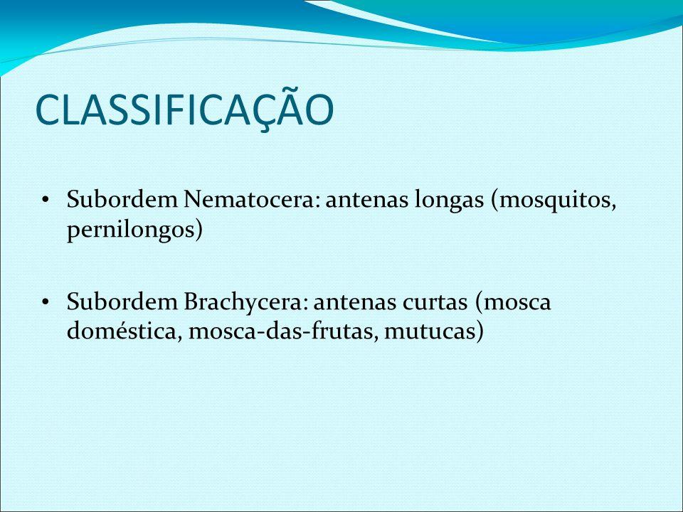CLASSIFICAÇÃO Subordem Nematocera: antenas longas (mosquitos, pernilongos) Subordem Brachycera: antenas curtas (mosca doméstica, mosca-das-frutas, mut