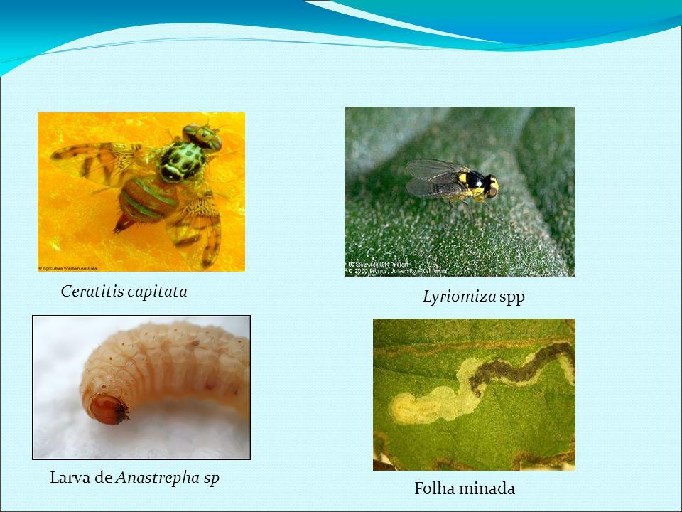 LEPIDOPTERA – Forma jovem (lagartas) Hábitos Noturno ou diurnos,adultos alimentam-se de néctar ou não se alimentam,as larvas alimentam-se de folhas, frutos, sementes ou madeira de troncos, ovíparos,postura sobre plantas.