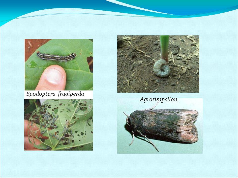 Spodoptera frugiperda Agrotis ipsilon