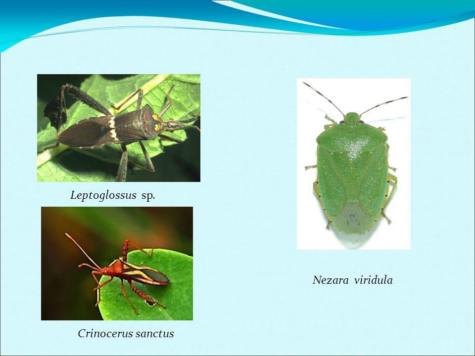 Leptoglossus sp. Nezara viridula Crinocerus sanctus