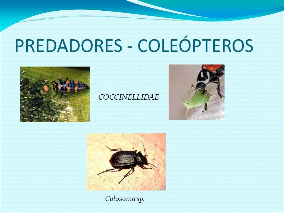 PREDADORES - NEURÓPTEROS Myrmeleontidae Chrysopa sp Ovos de Chrysopa sp
